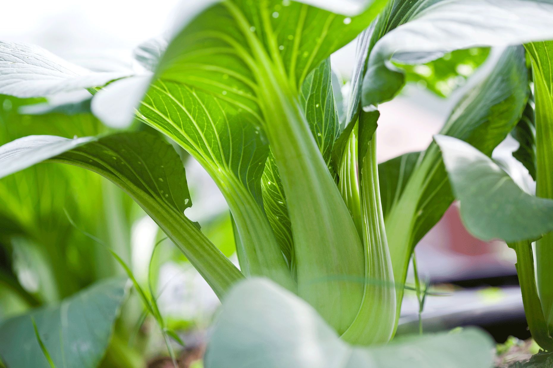 hbrownsphotography-bokchoy-web