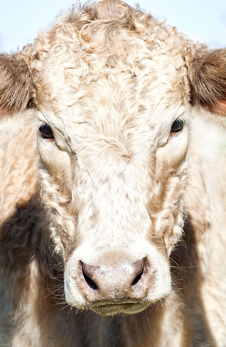 hbrownsphotography-cowcloseup-web
