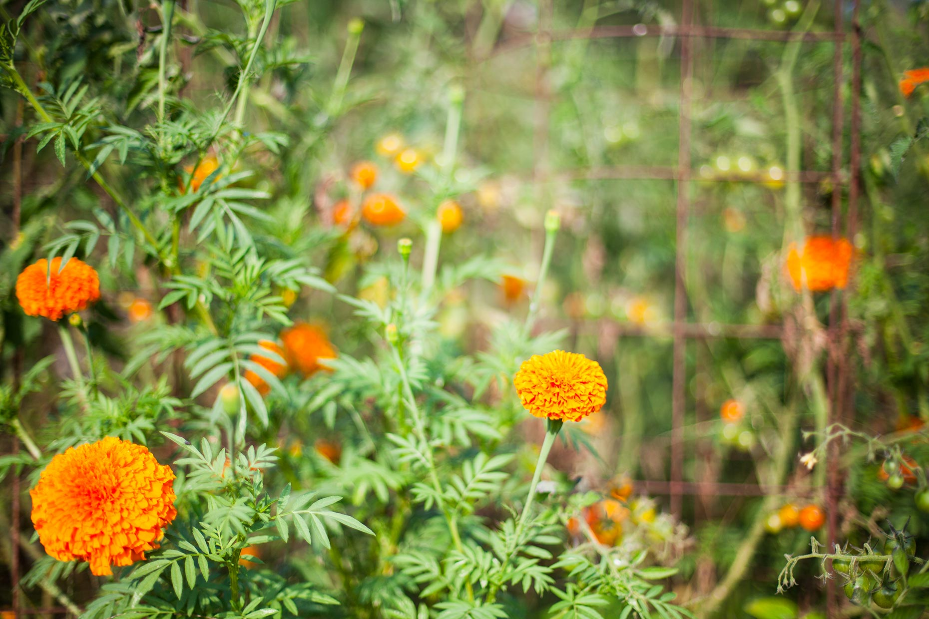 hbrownsphotography-marigoldstomatoes-web