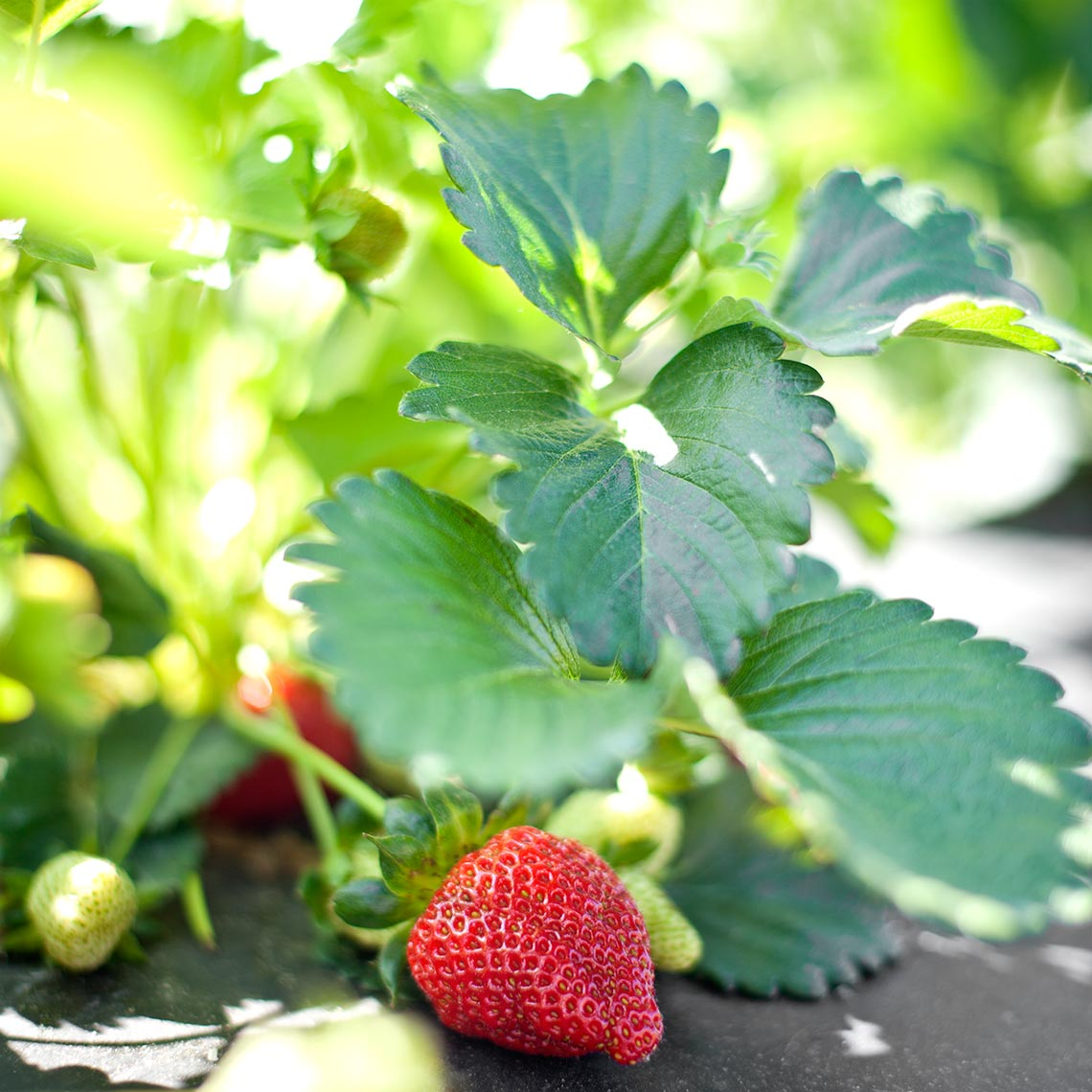 hbrownsphotography-strawberryplantplastic-web