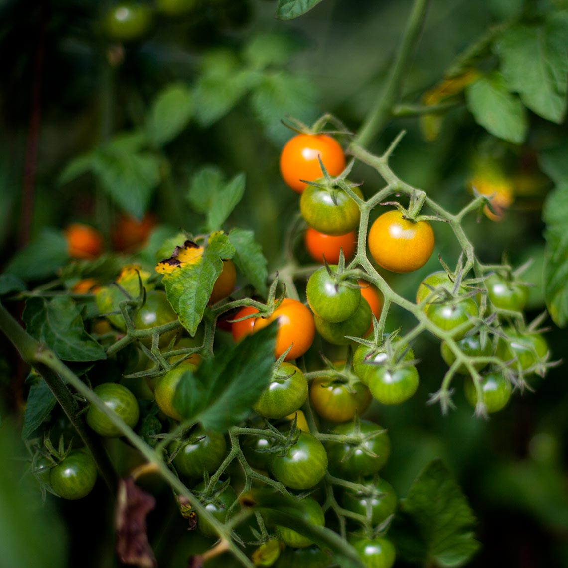 hbrownsphotography-vinetomatoes-web