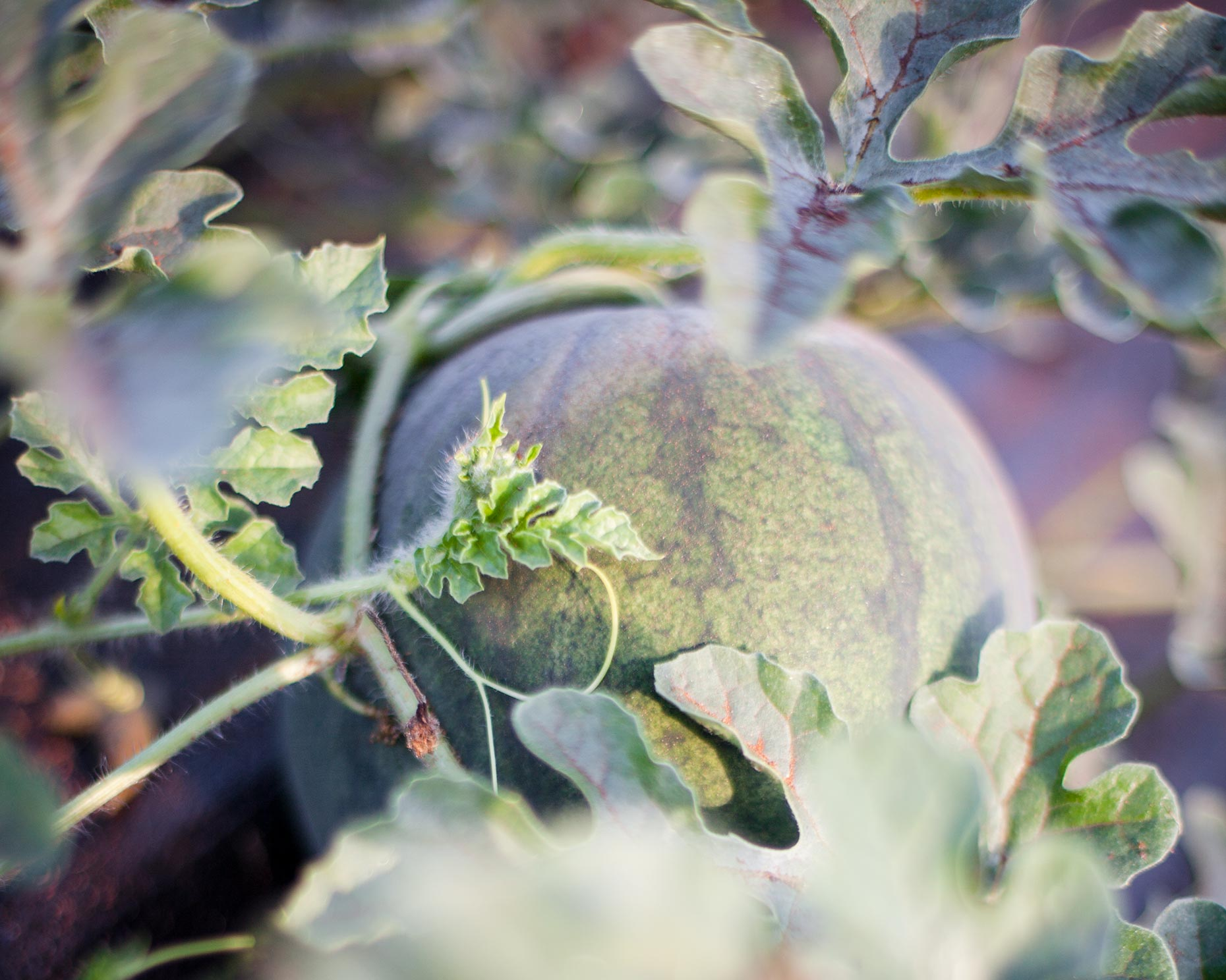 hbrownsphotography-watermelon-web